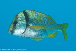 BD-101213-Playa-del-Carmen-3124-Anisotremus-virginicus-(Linnaeus.-1758)-[Porkfish.-Svinfisk].jpg